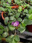 Vinca minor Atropurpurea 1L Pot
